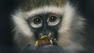 Илон Маск успешно чипировал обезьяну