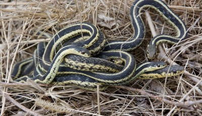 Ученые подтвердили способность змей формировать стабильные социальные связи