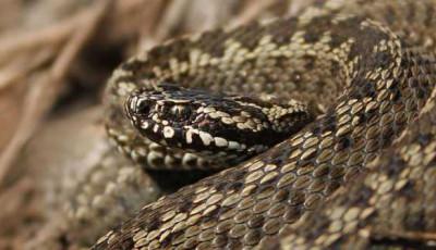 В Ровенской области змея укусила 14-летнюю девушку
