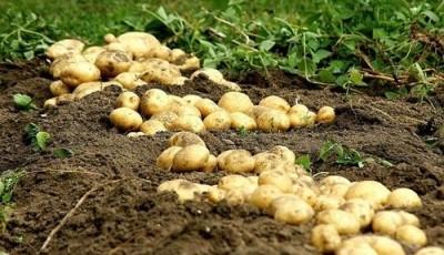 Нидерланды продали промышленный картофель в Украину, когда должны были его утилизировать